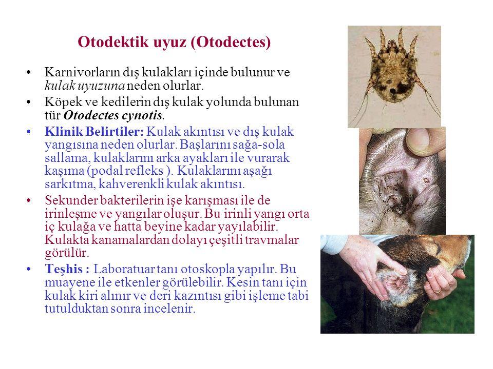 Otodektik uyuz (Otodectes)