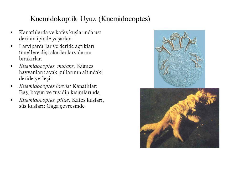 Knemidokoptik Uyuz (Knemidocoptes)