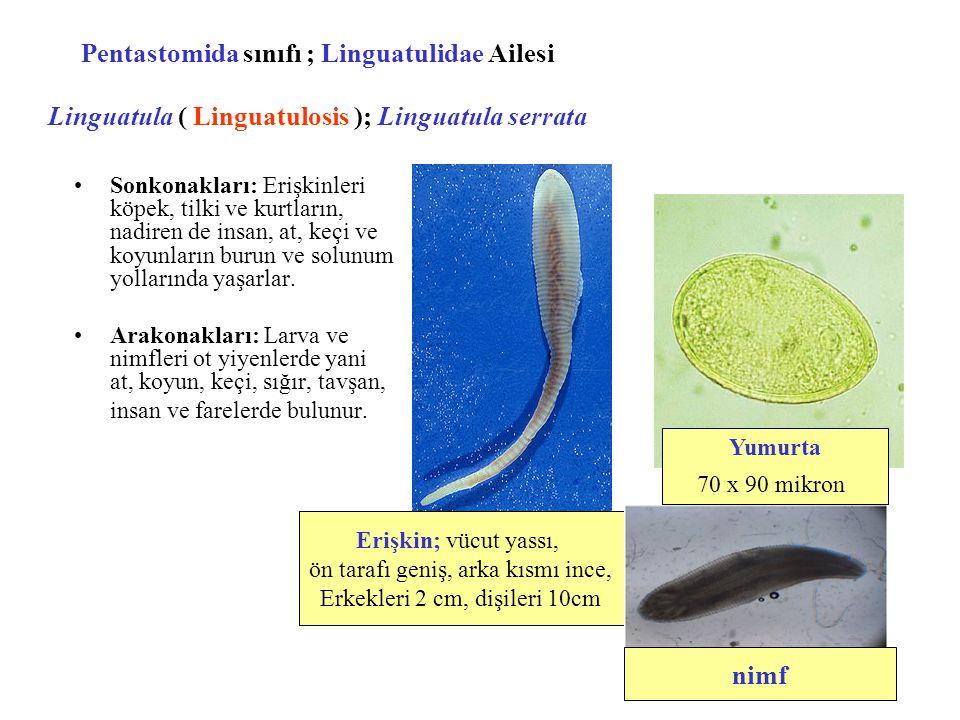 Pentastomida sınıfı ; Linguatulidae Ailesi Linguatula ( Linguatulosis ); Linguatula serrata