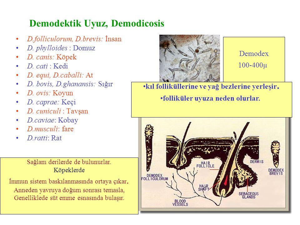 Demodektik Uyuz, Demodicosis