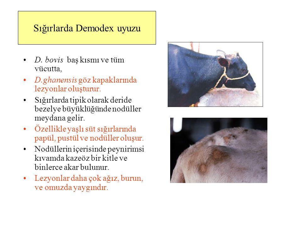 Sığırlarda Demodex uyuzu