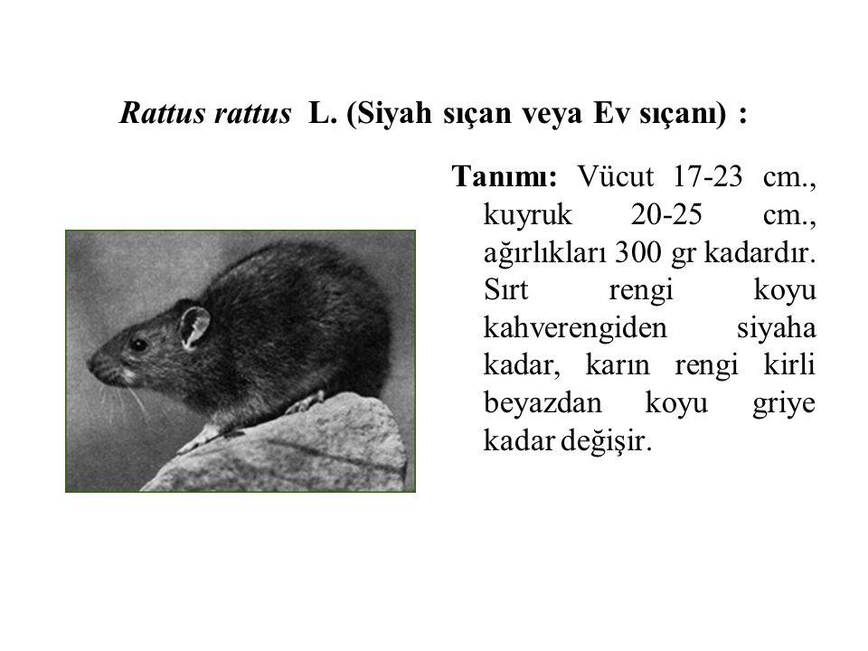 Rattus rattus L. (Siyah sıçan veya Ev sıçanı) :