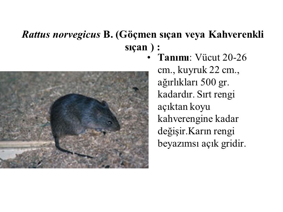 Rattus norvegicus B. (Göçmen sıçan veya Kahverenkli sıçan ) :