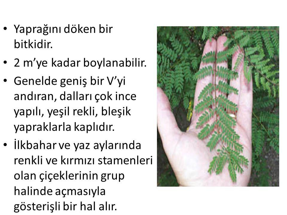 Yaprağını döken bir bitkidir.