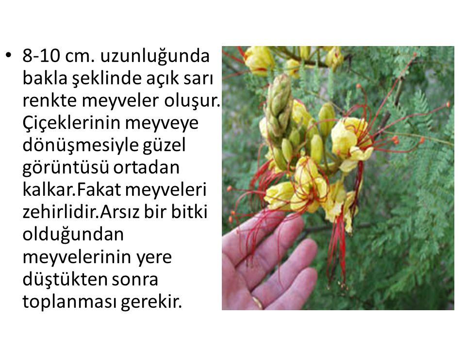 8-10 cm. uzunluğunda bakla şeklinde açık sarı renkte meyveler oluşur