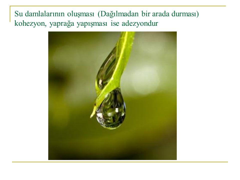 Su damlalarının oluşması (Dağılmadan bir arada durması) kohezyon, yaprağa yapışması ise adezyondur