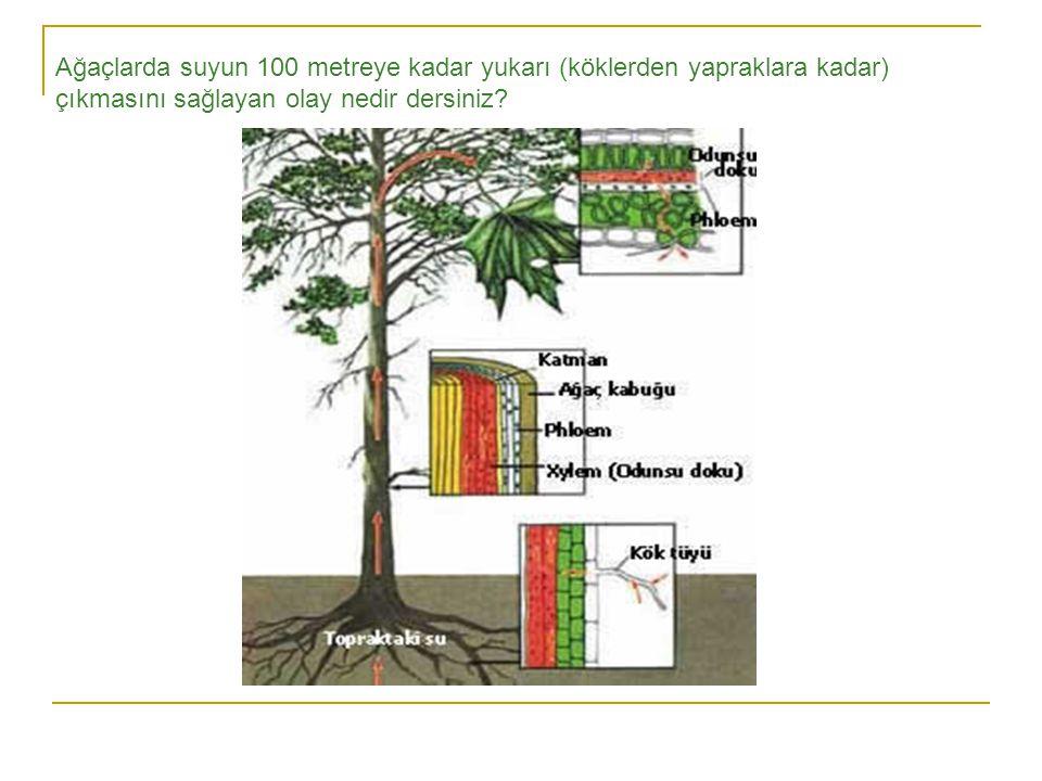 Ağaçlarda suyun 100 metreye kadar yukarı (köklerden yapraklara kadar) çıkmasını sağlayan olay nedir dersiniz
