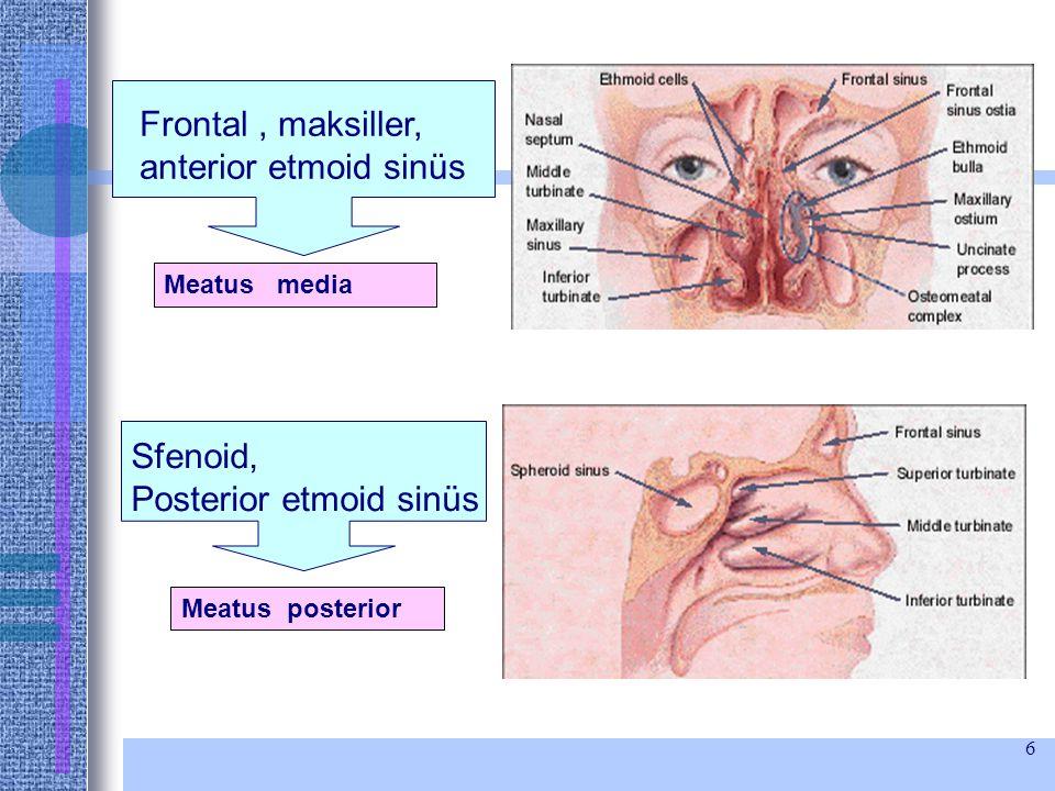 Frontal , maksiller, anterior etmoid sinüs