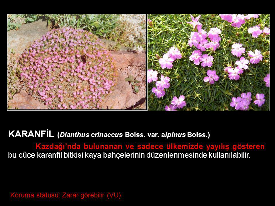 KARANFİL (Dianthus erinaceus Boiss. var. alpinus Boiss.)