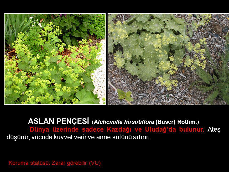 ASLAN PENÇESİ (Alchemilla hirsutiflora (Buser) Rothm.)