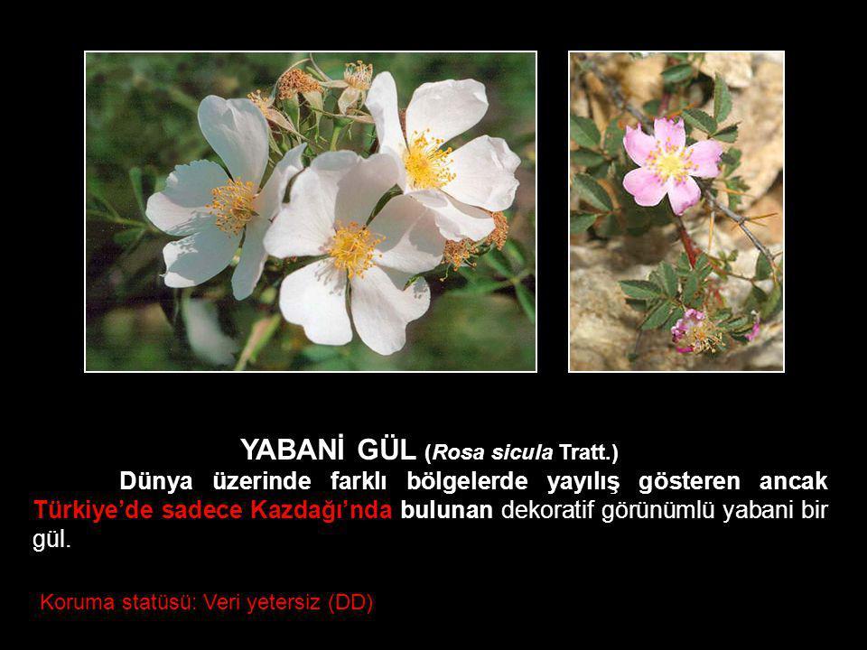YABANİ GÜL (Rosa sicula Tratt.)