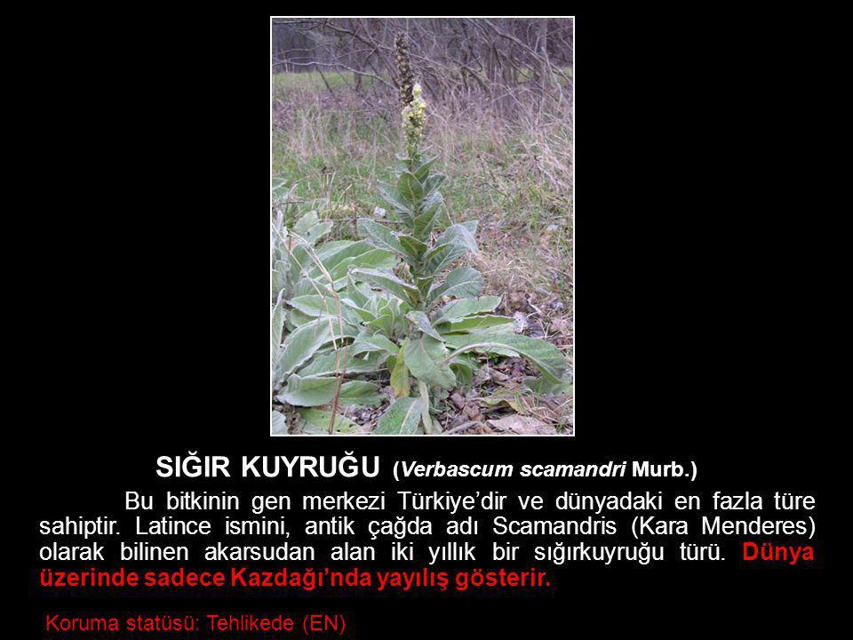 SIĞIR KUYRUĞU (Verbascum scamandri Murb.)