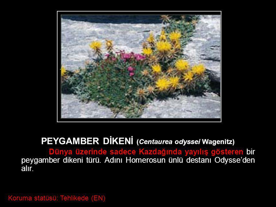 PEYGAMBER DİKENİ (Centaurea odyssei Wagenitz)