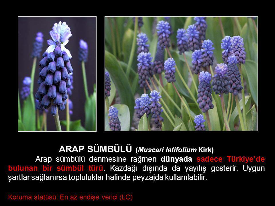 ARAP SÜMBÜLÜ (Muscari latifolium Kirk)