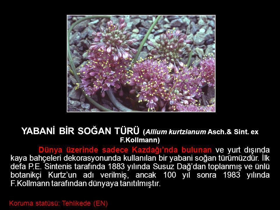 YABANİ BİR SOĞAN TÜRÜ (Allium kurtzianum Asch.& Sint. ex F.Kollmann)