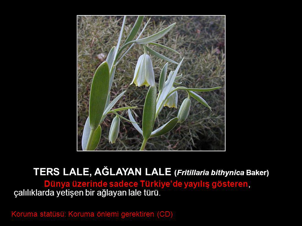 TERS LALE, AĞLAYAN LALE (Fritillaria bithynica Baker)