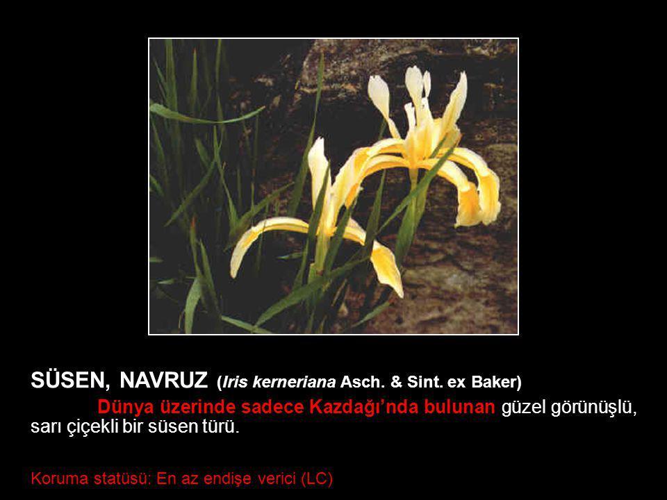 SÜSEN, NAVRUZ (Iris kerneriana Asch. & Sint. ex Baker)