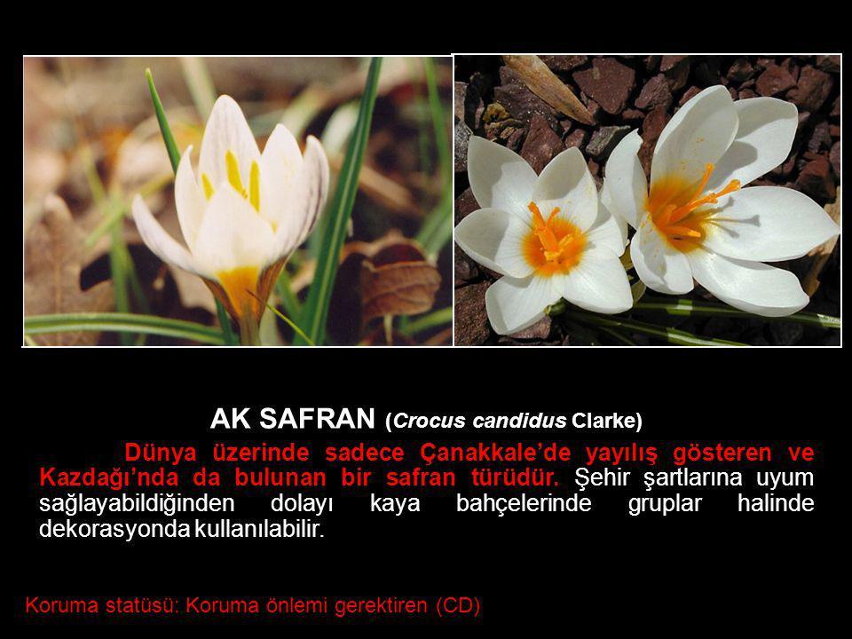 AK SAFRAN (Crocus candidus Clarke)