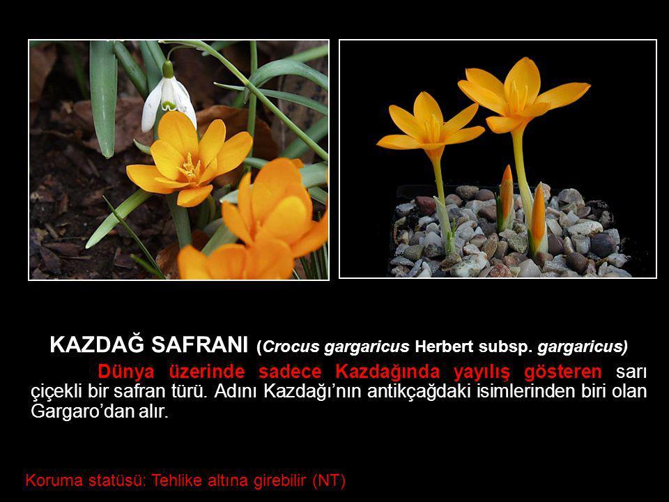 KAZDAĞ SAFRANI (Crocus gargaricus Herbert subsp. gargaricus)