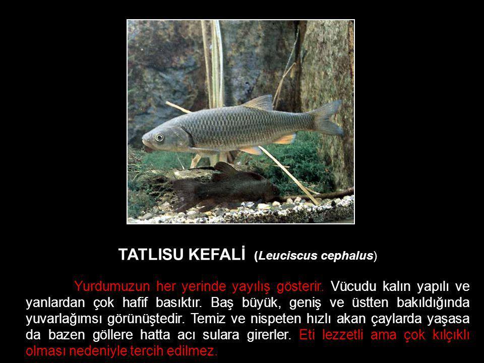 TATLISU KEFALİ (Leuciscus cephalus)