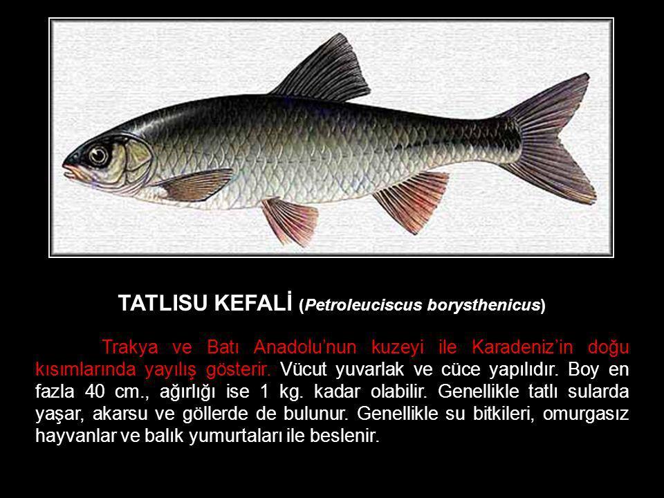 TATLISU KEFALİ (Petroleuciscus borysthenicus)