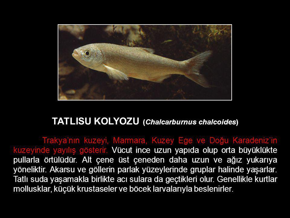 TATLISU KOLYOZU (Chalcarburnus chalcoides)