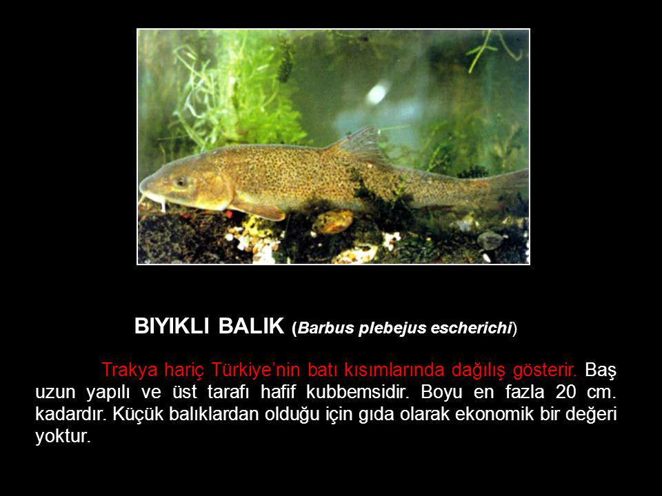 BIYIKLI BALIK (Barbus plebejus escherichi)