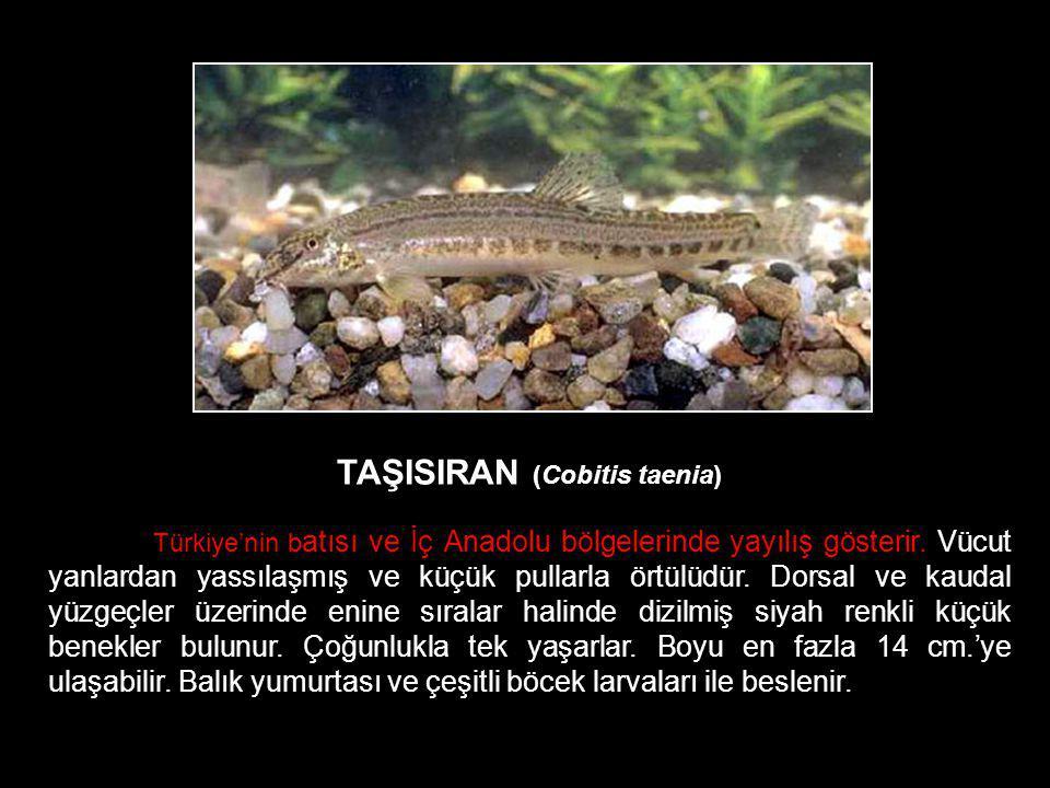 TAŞISIRAN (Cobitis taenia)