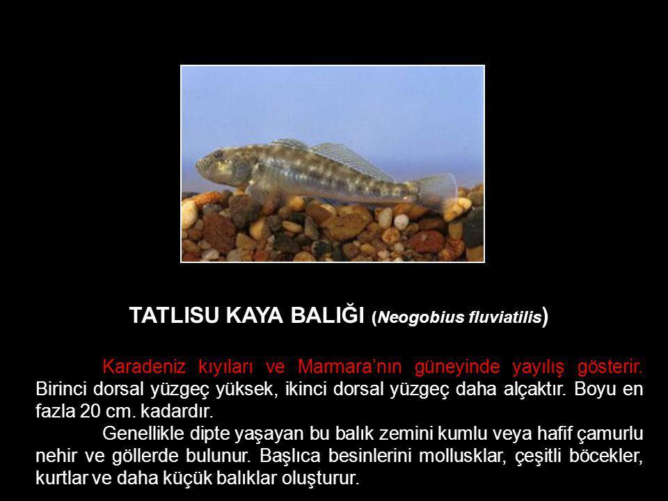 TATLISU KAYA BALIĞI (Neogobius fluviatilis)