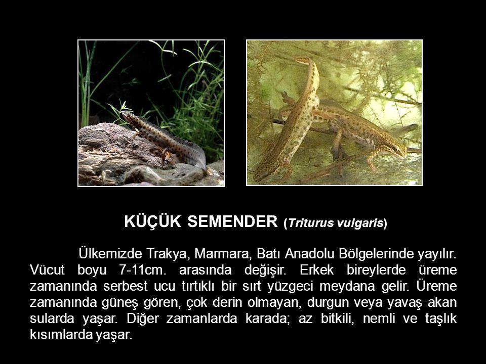 KÜÇÜK SEMENDER (Triturus vulgaris)