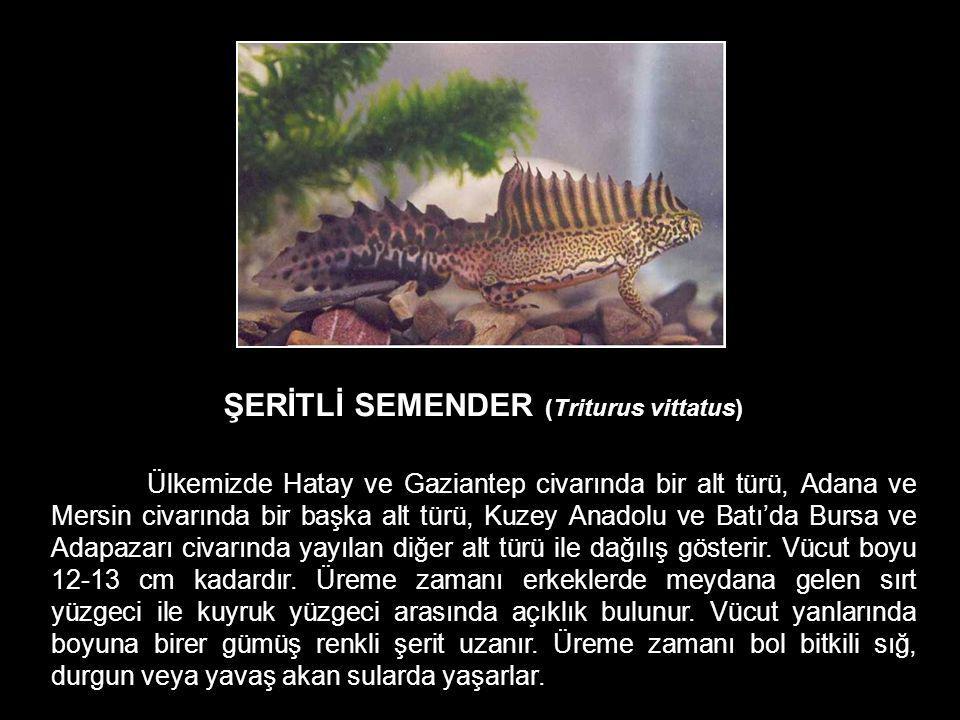 ŞERİTLİ SEMENDER (Triturus vittatus)
