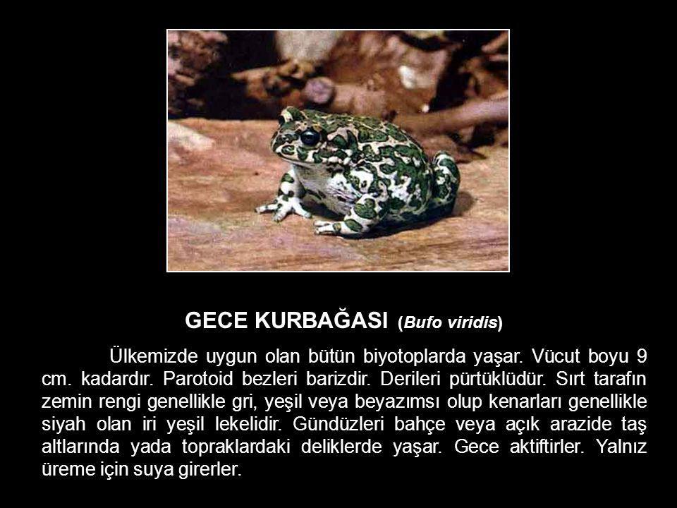 GECE KURBAĞASI (Bufo viridis)