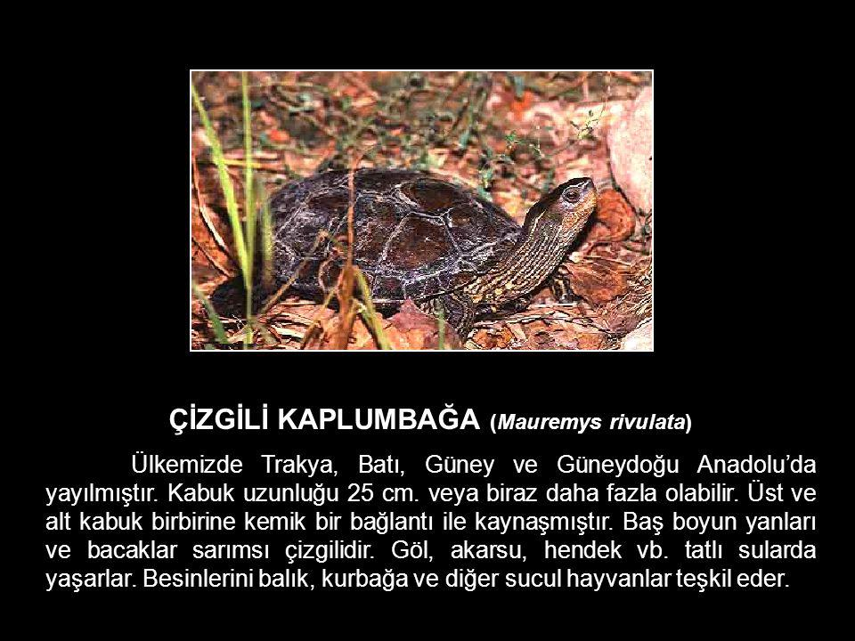 ÇİZGİLİ KAPLUMBAĞA (Mauremys rivulata)