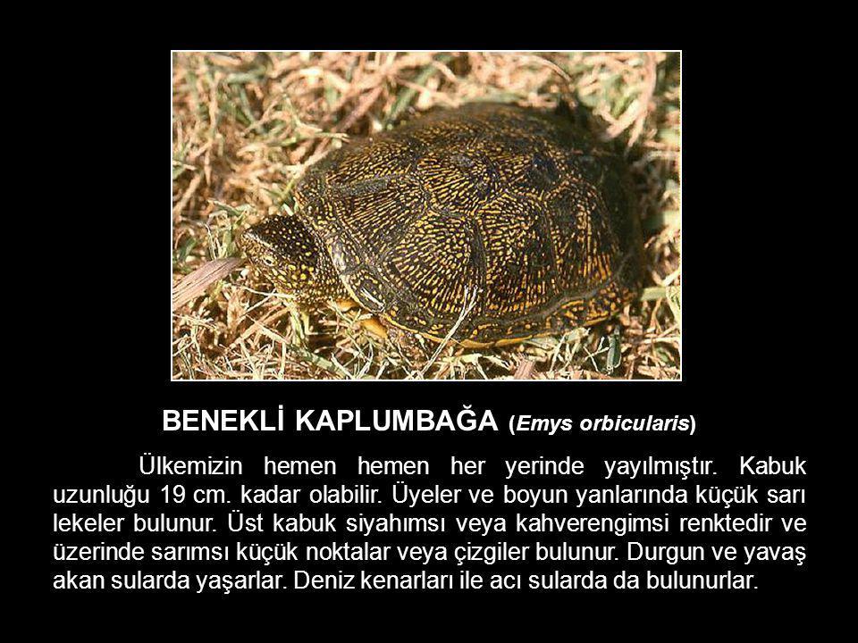 BENEKLİ KAPLUMBAĞA (Emys orbicularis)