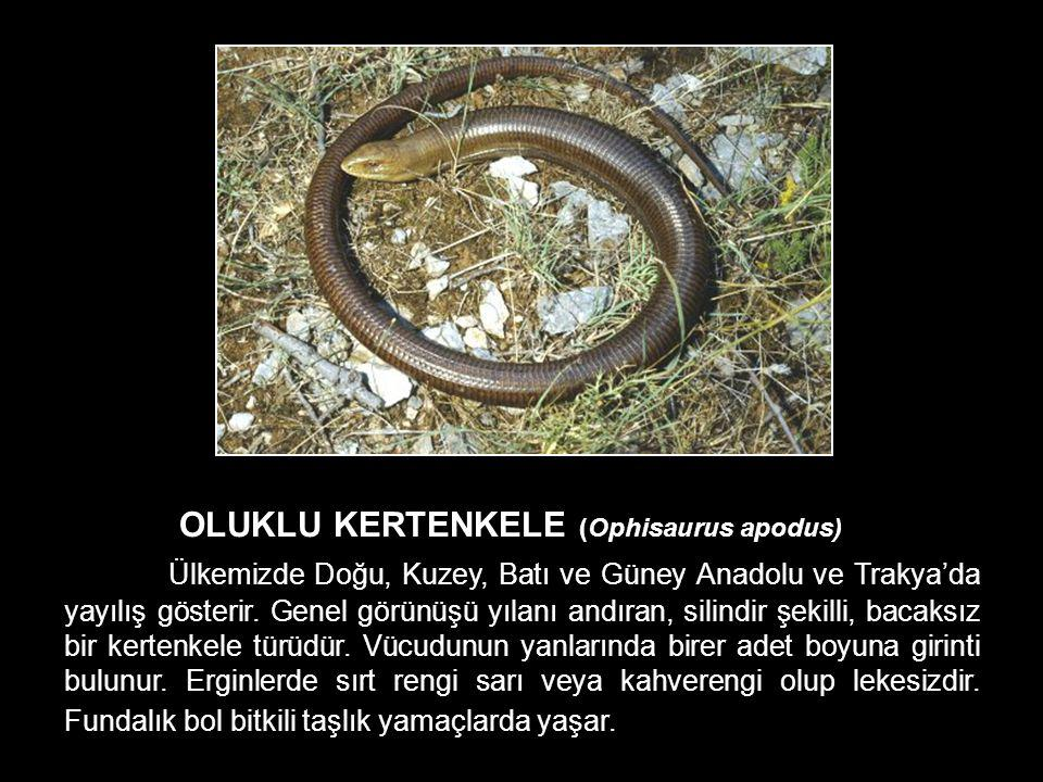OLUKLU KERTENKELE (Ophisaurus apodus)