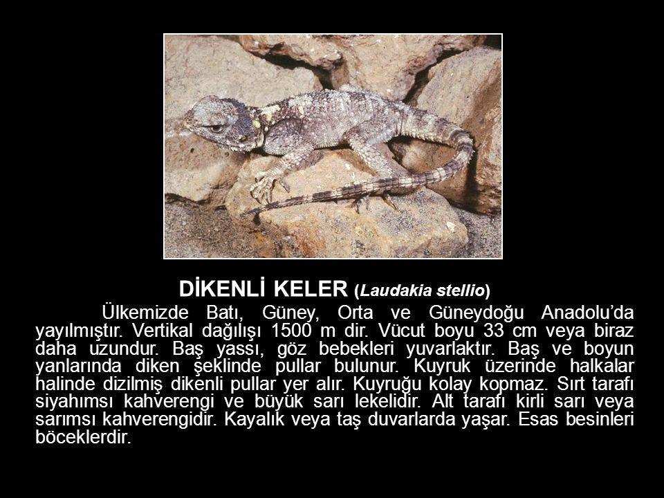DİKENLİ KELER (Laudakia stellio)