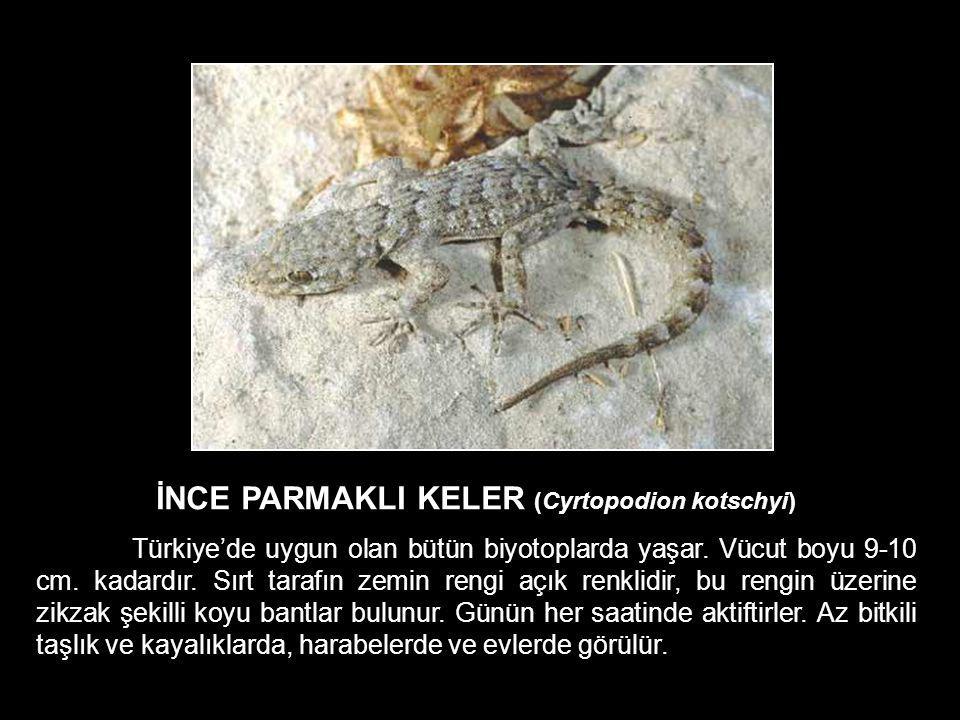 İNCE PARMAKLI KELER (Cyrtopodion kotschyi)