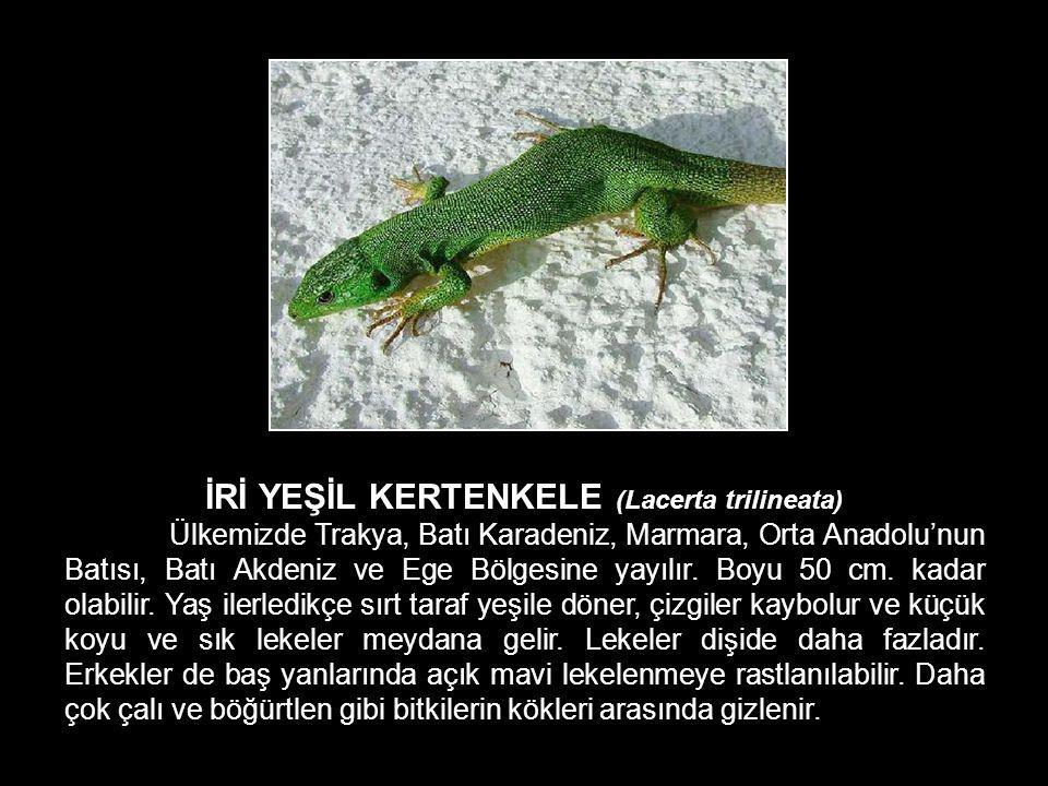 İRİ YEŞİL KERTENKELE (Lacerta trilineata)