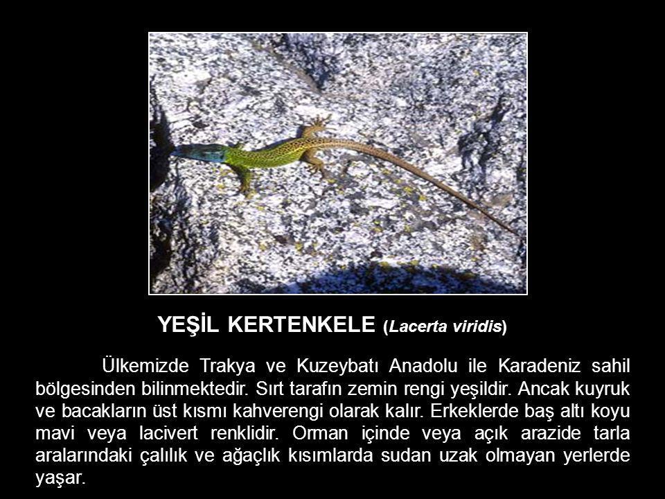YEŞİL KERTENKELE (Lacerta viridis)