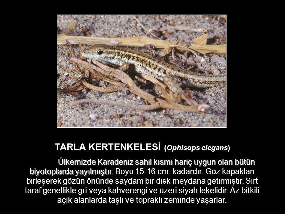TARLA KERTENKELESİ (Ophisops elegans)