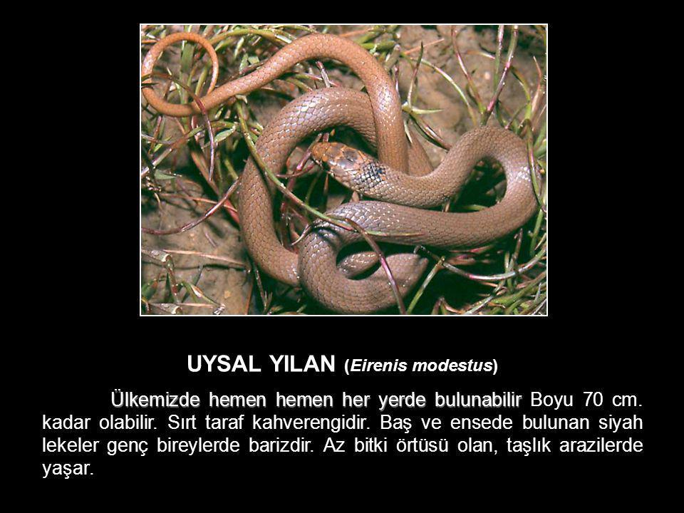 UYSAL YILAN (Eirenis modestus)