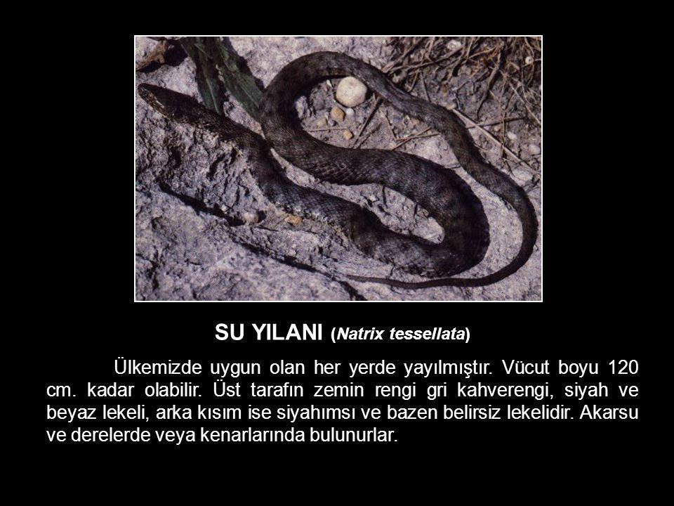 SU YILANI (Natrix tessellata)