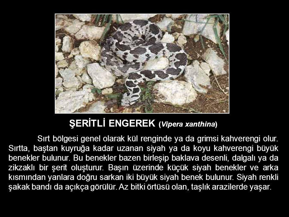 ŞERİTLİ ENGEREK (Vipera xanthina)