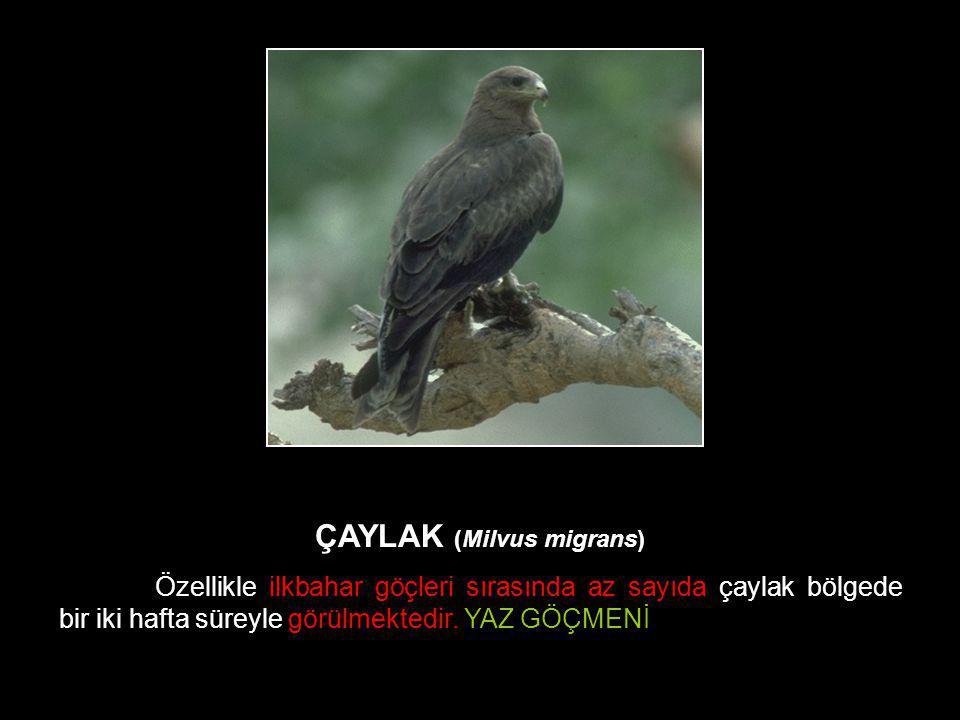 ÇAYLAK (Milvus migrans)