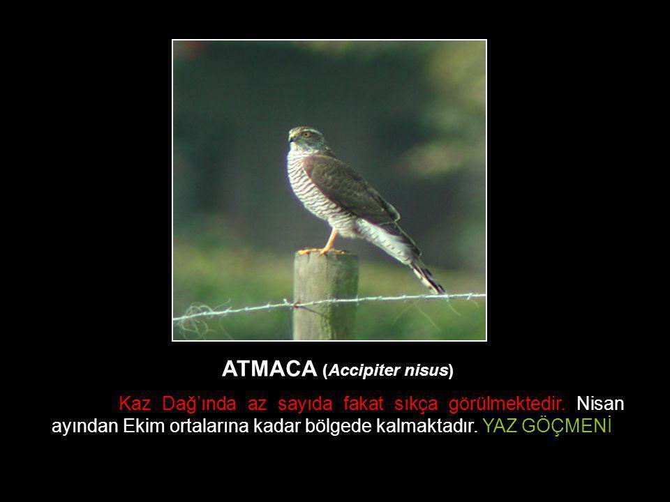 ATMACA (Accipiter nisus)