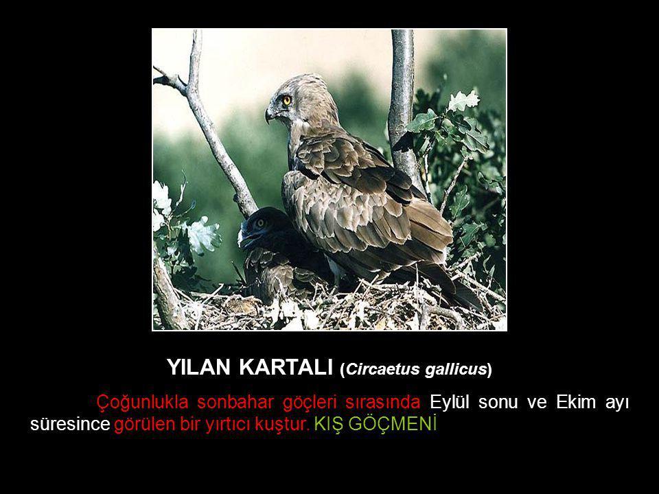 YILAN KARTALI (Circaetus gallicus)