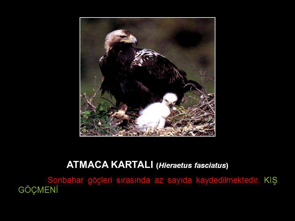 ATMACA KARTALI (Hieraetus fasciatus)