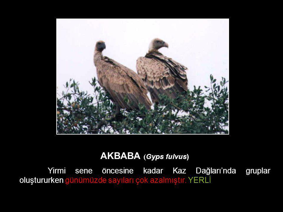 AKBABA (Gyps fulvus) Yirmi sene öncesine kadar Kaz Dağları'nda gruplar oluştururken günümüzde sayıları çok azalmıştır.