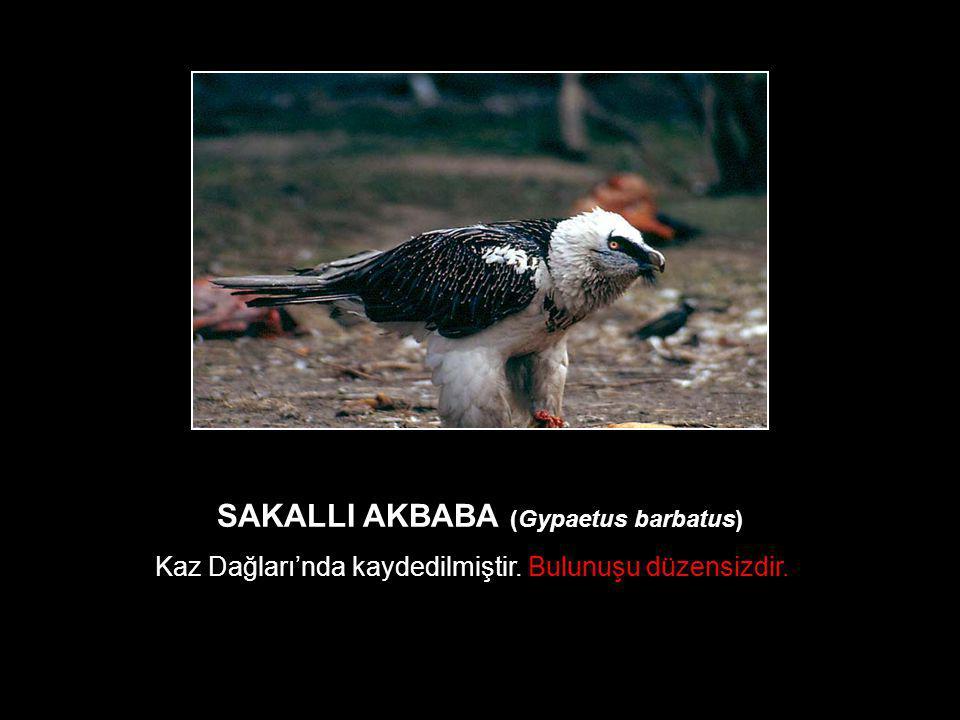 SAKALLI AKBABA (Gypaetus barbatus)