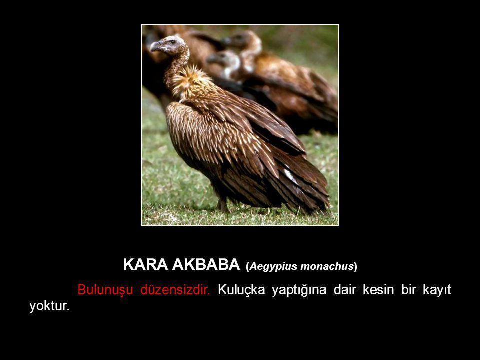KARA AKBABA (Aegypius monachus)